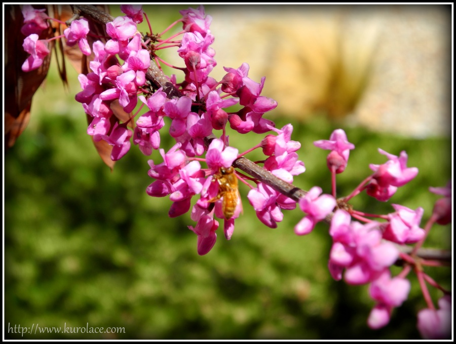 A bee visiting the red bud tree.