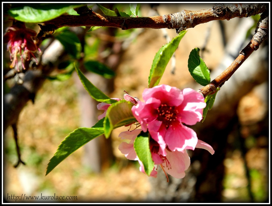Late peach blossoms.
