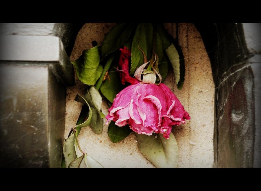 Dead Rose Offering